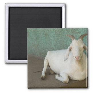 Nicaragua, Granada. Goat resting on porch in Magnet