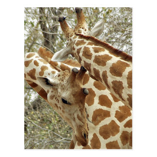 Niger, Koure, two Giraffes in bushes in the west Postcard