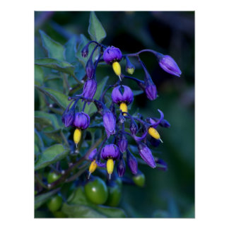 Nightshade Plant, beautiful and toxic Poster