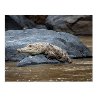 Nile crocodile on a rock postcard