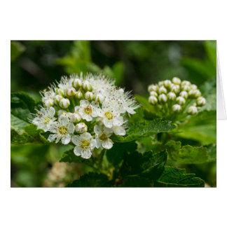 Ninebark Virginia Wildflower White Floral Card
