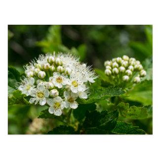 Ninebark White Wildflower Floral Postcard