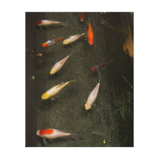 Nishikigoi (Koi Fish) Canvas