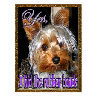 No Rubber Bands for Yorkie Postcard