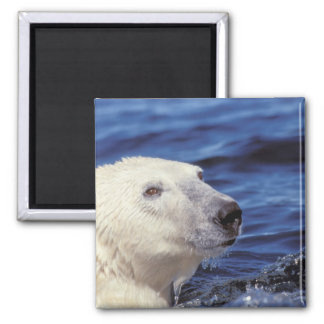 North America, Arctic Circle. Polar bear Square Magnet