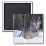 North America, Canada, Eastern Canada, Grey wolf Square Magnet