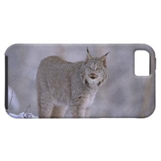 North America, USA, Alaska, Haines. Lynx (Felis iPhone 5 Cover