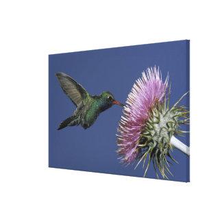 North America, USA, Arizona. Broad-billed Stretched Canvas Prints