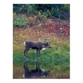 North America, USA, Denali NP, Caribou Postcard