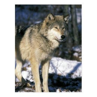 North America, USA, Minnesota. Wolf (Canis 2 Postcard