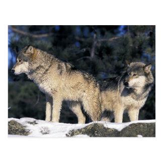 North America, USA, Minnesota. Wolf Canis 2 Postcard