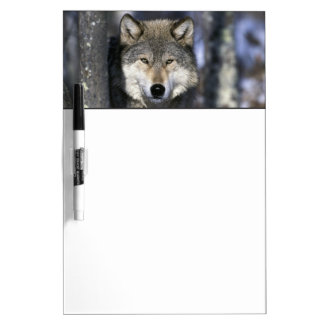 North America, USA, Minnesota. Wolf Canis Dry Erase Boards