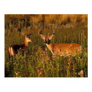 North America, USA, Montana, National Bison Postcard