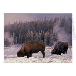 North America, USA, Wyoming, Yellowstone NP, Card