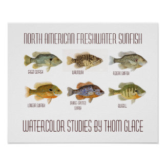 North American Freshwater Sunfish Poster