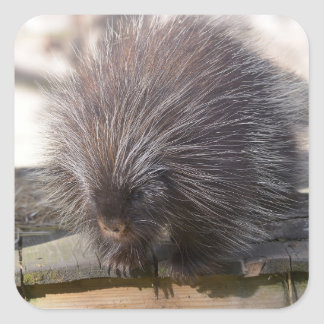 North American porcupine Square Sticker