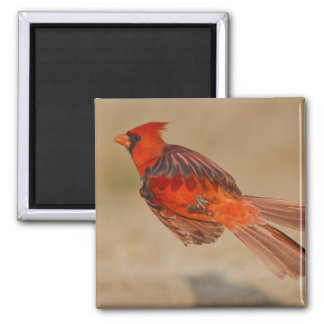 Northern Cardinal adult male in flight Square Magnet
