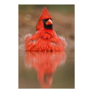 Northern Cardinal Cardinalis cardinalis) male Photo Print
