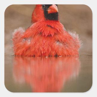 Northern Cardinal Cardinalis cardinalis) male Square Sticker