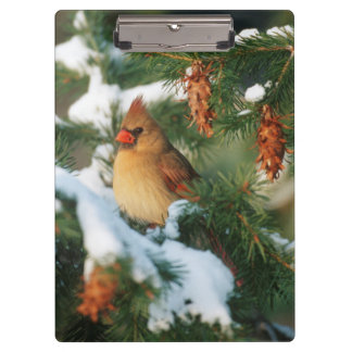 Northern Cardinal in tree, Illinois Clipboard