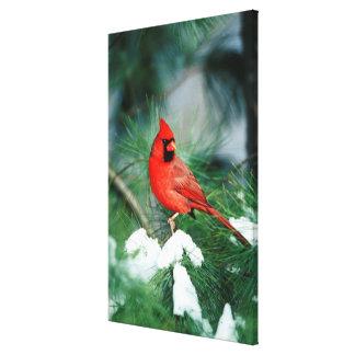 Northern Cardinal male on tree, IL Canvas Print