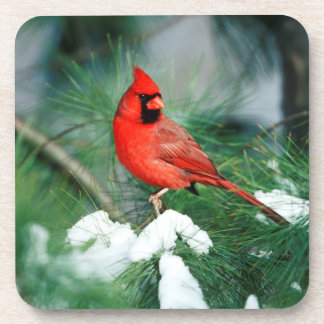 Northern Cardinal male on tree, IL Coaster
