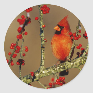 Northern Cardinal male perched, IL Classic Round Sticker