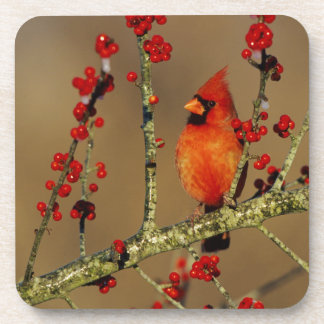 Northern Cardinal male perched, IL Coaster