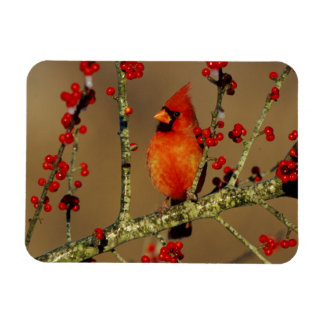 Northern Cardinal male perched, IL Rectangular Photo Magnet