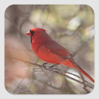 Northern cardinal stands on a bare tree branch square sticker