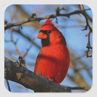 Northern cardinal stands on a tree branch square sticker