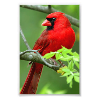 Northern cardinals photograph