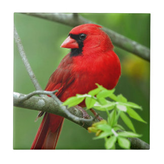 Northern cardinals small square tile