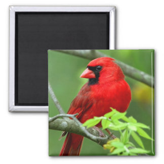 Northern cardinals square magnet
