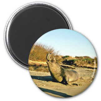 Northern Elephant Seal, Adult Male Refrigerator Magnet