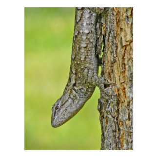 Northern Fence Lizard Postcard