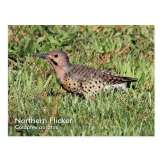 Northern Flicker Postcard