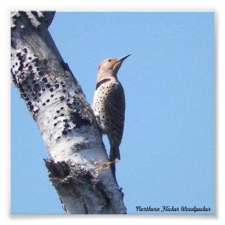Northern Flicker Woodpecker PhotoPrint Photo Print