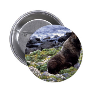 Northern fur seal buttons