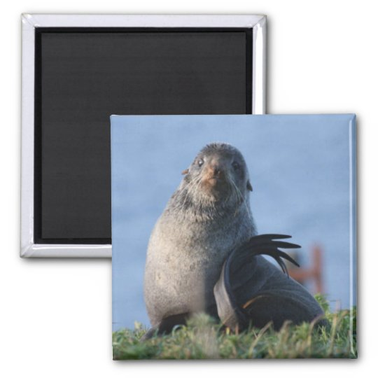 Northern Fur Seal Magnet