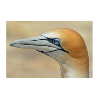 Northern-gannet off the coast of New zealand Acrylic Wall Art
