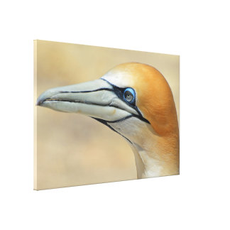 Northern-gannet off the coast of New zealand Canvas Print
