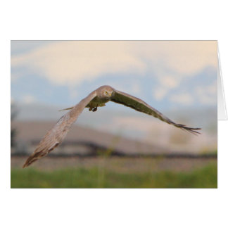 Northern Harrier Card