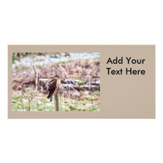 Northern Harrier Hawk on Fence Photo Card Template