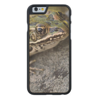 Northern Leopard frog, See-through Island, Carved® Maple iPhone 6 Slim Case