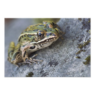 Northern Leopard frog, See-through Island, Photo