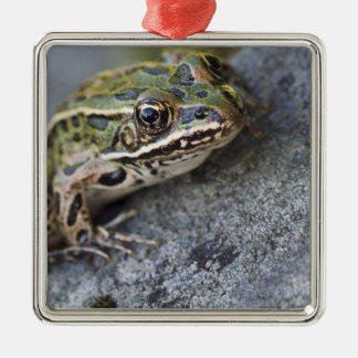 Northern Leopard frog, See-through Island, Silver-Colored Square Decoration