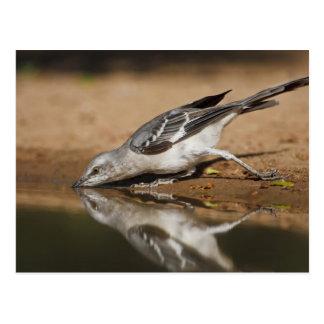 Northern Mockingbird drinking at south Texas pon Postcard