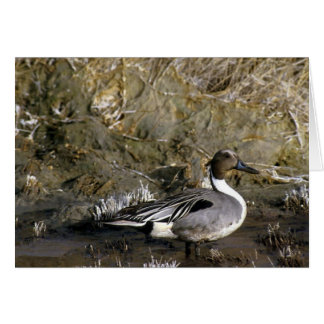 Northern Pintail Duck Lover gifts Card