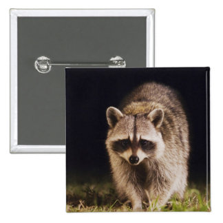 Northern Raccoon, Procyon lotor, adult at 15 Cm Square Badge